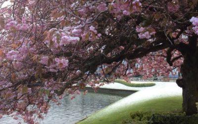 Kirschblüten im Schnee. Es sollte nicht sein. Oder doch?